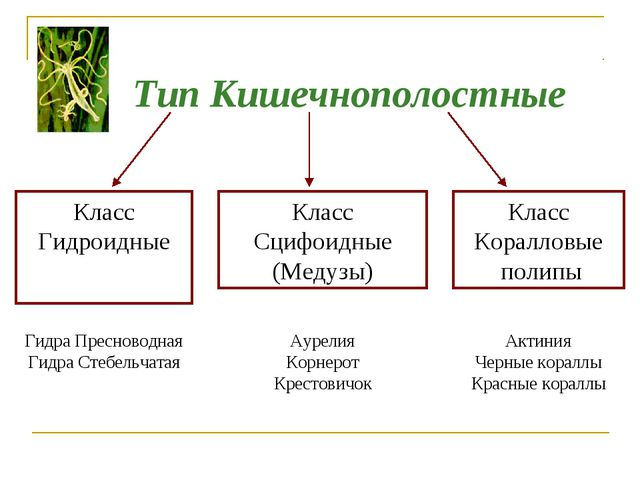 Тип Кишечнополостные Класс Гидроидные Класс Сцифоидные (Медузы) Класс Коралло...