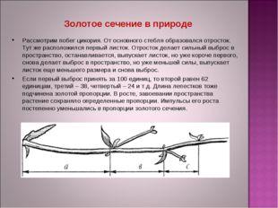 Рассмотрим побег цикория. От основного стебля образовался отросток. Тут же ра
