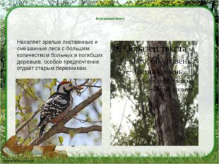 Белоспинный дятел. Населяет зрелые лиственные и смешанные леса с большим кол
