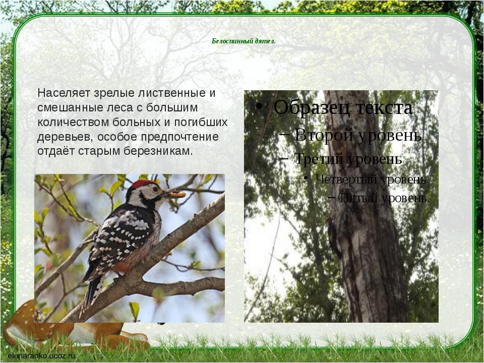 Белоспинный дятел. Населяет зрелые лиственные и смешанные леса с большим кол...