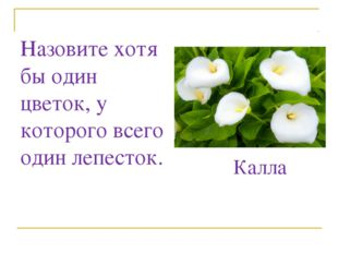 Назовите хотя бы один цветок, у которого всего один лепесток. Калла