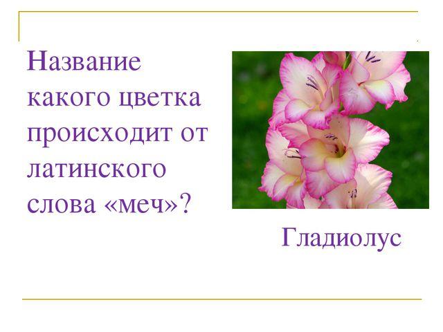 Название какого цветка происходит от латинского слова «меч»? Гладиолус