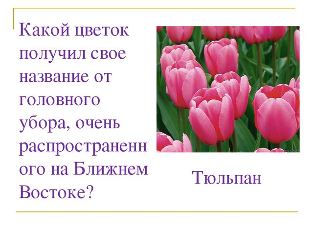 Какой цветок получил свое название от головного убора, очень распространенног...