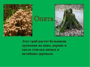 Этот гриб растет большими группами на пнях, корнях и около стволов живых и по