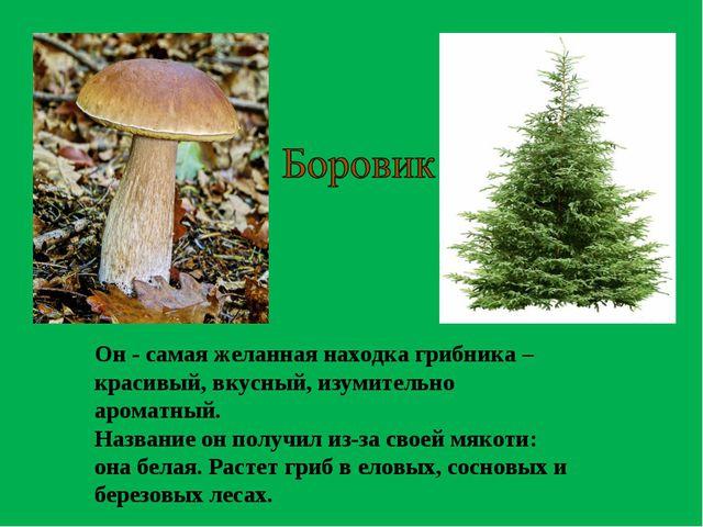 Он - самая желанная находка грибника – красивый, вкусный, изумительно ароматн...