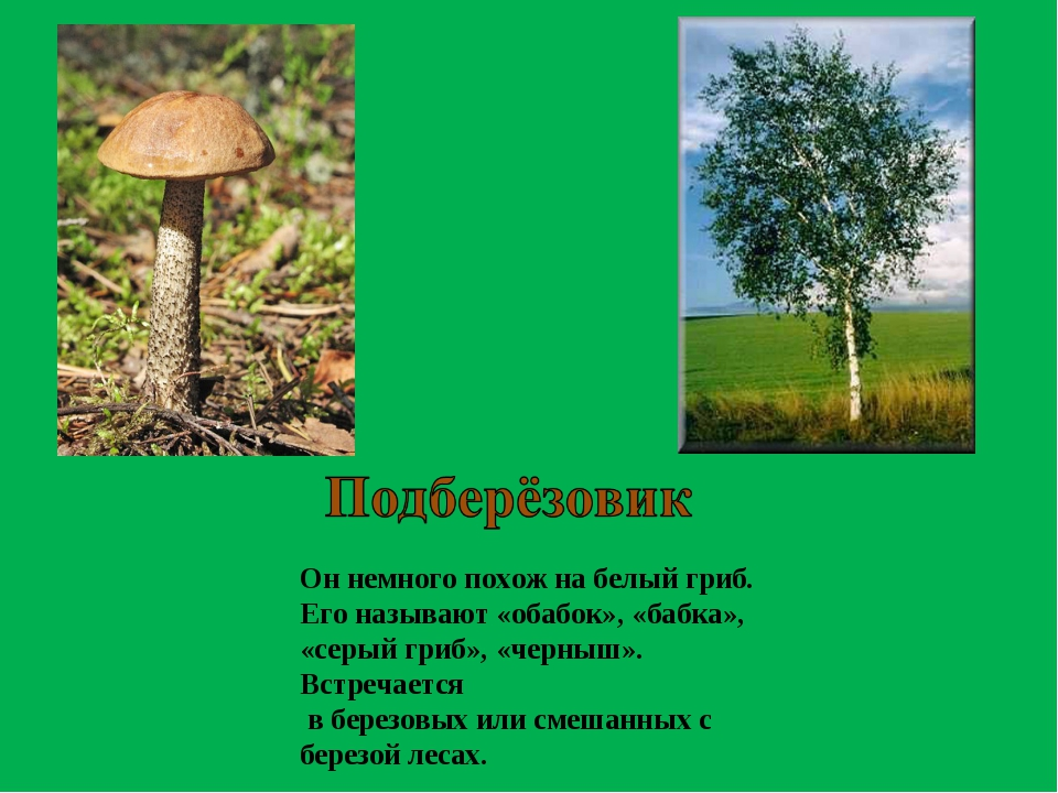 Он немного похож на белый гриб. Его называют «обабок», «бабка», «серый гриб»,...