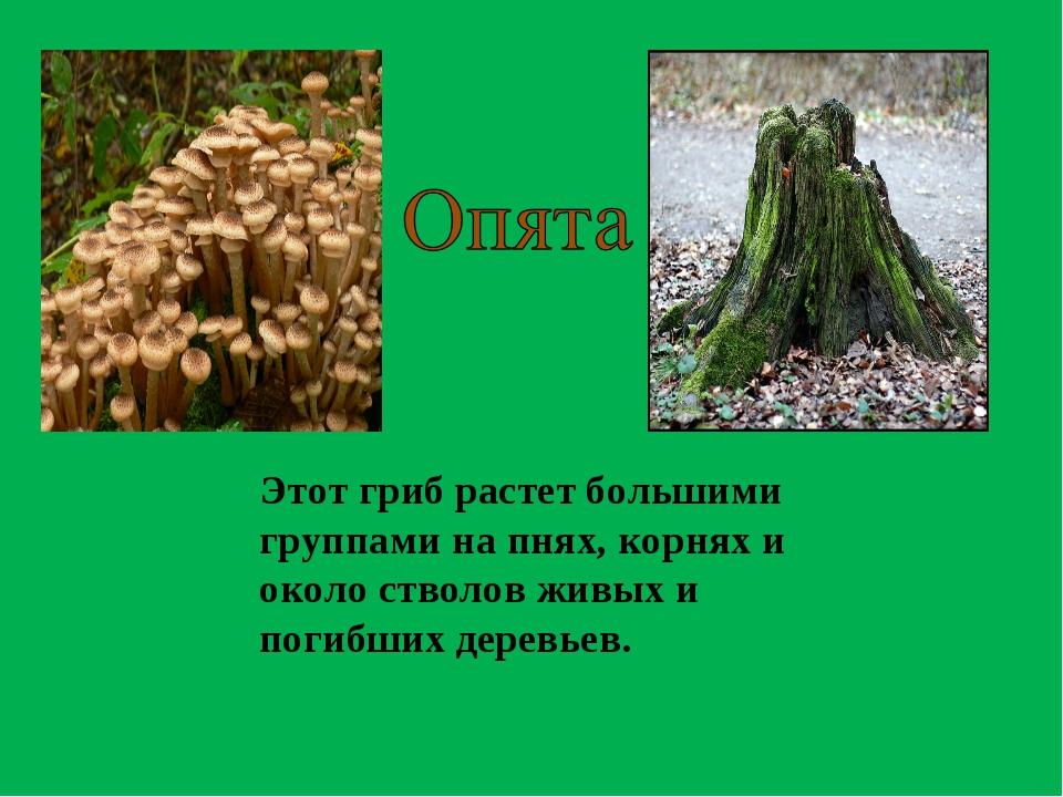 Этот гриб растет большими группами на пнях, корнях и около стволов живых и по...