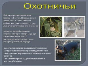 Лайка— распространенная порода в России. Первые лайки появились в 1949 г. Ше