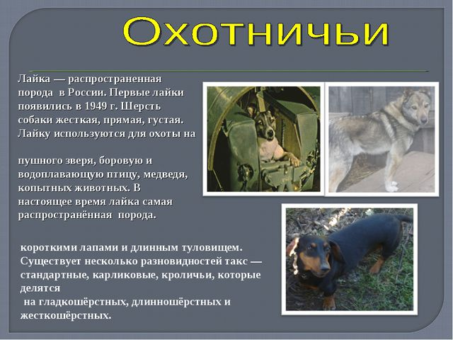 Лайка— распространенная порода в России. Первые лайки появились в 1949 г. Ше...