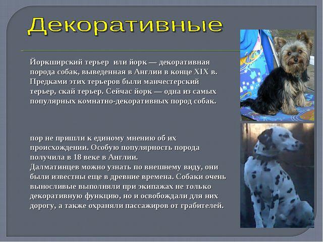 Йоркширский терьер или йорк— декоративная порода собак, выведенная в Англии...
