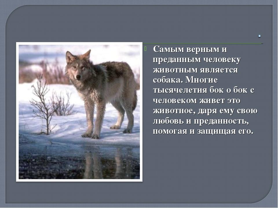 Самым верным и преданным человеку животным является собака. Многие тысячелети...