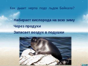 Как дышит нерпа подо льдом Байкала? Набирает кислорода на всю зиму Через прод