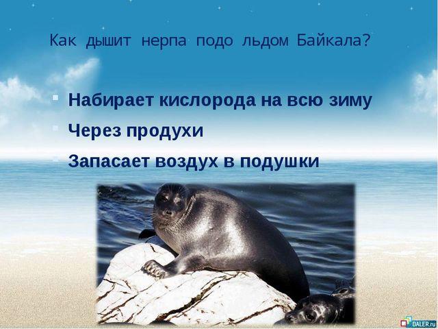 Как дышит нерпа подо льдом Байкала? Набирает кислорода на всю зиму Через прод...