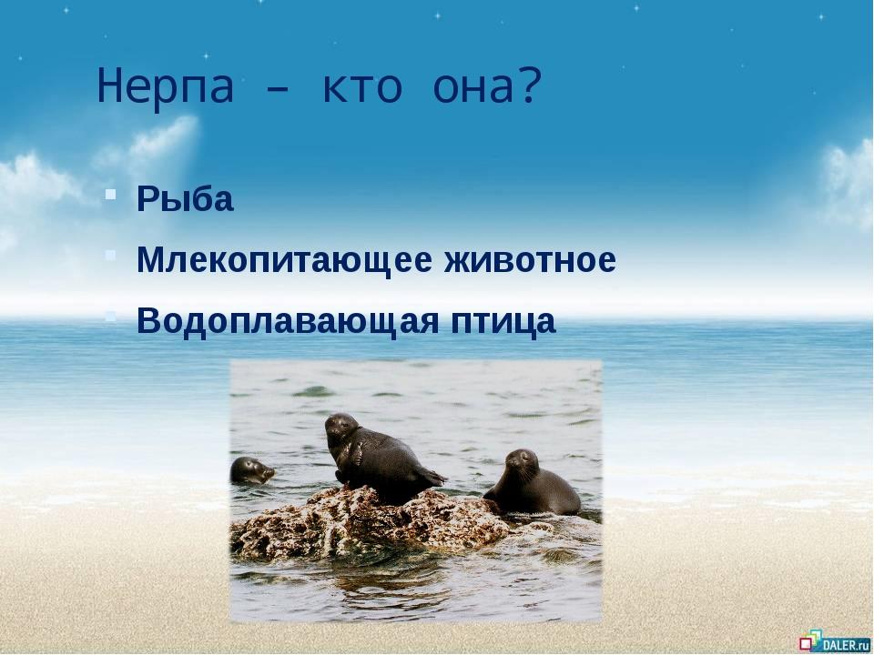 Нерпа – кто она? Рыба Млекопитающее животное Водоплавающая птица