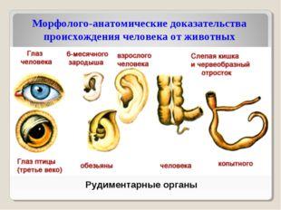 Рудиментарные органы Морфолого-анатомические доказательства происхождения чел
