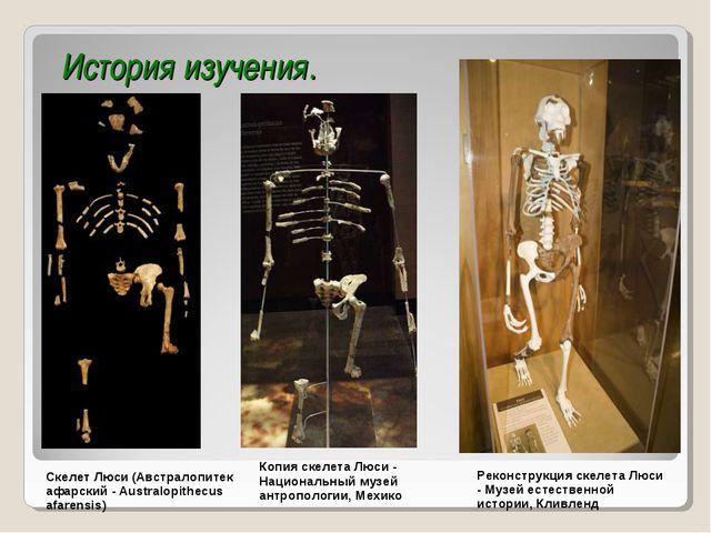 История изучения. Скелет Люси (Австралопитек афарский - Australopithecus afar...