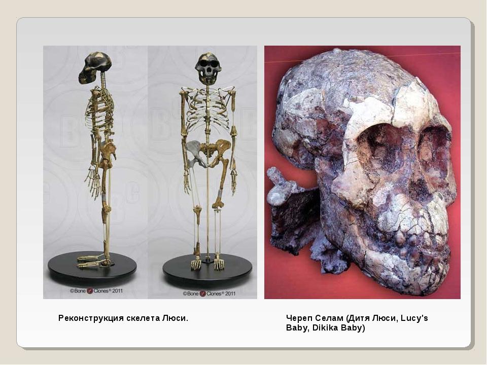 Реконструкция скелета Люси. Череп Селам (Дитя Люси, Lucy's Baby, Dikika Baby)
