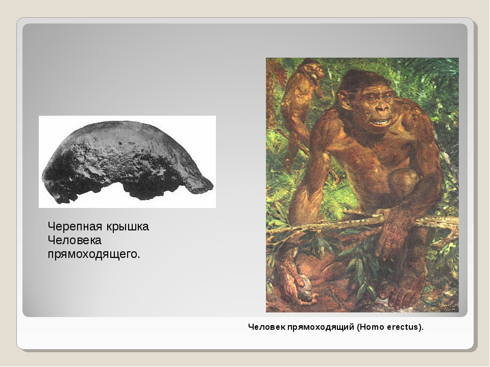 Черепная крышка Человека прямоходящего. Человек прямоходящий (Homo erectus).