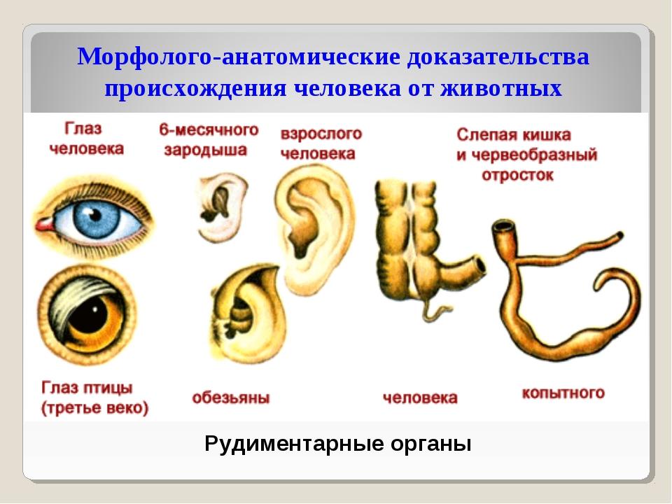Рудиментарные органы Морфолого-анатомические доказательства происхождения чел...