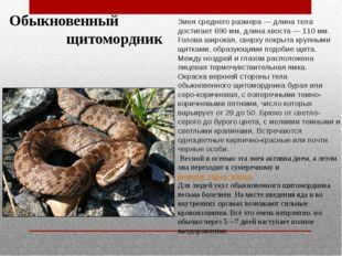 Обыкновенный щитомордник Змея среднего размера — длина тела достигает 690 мм