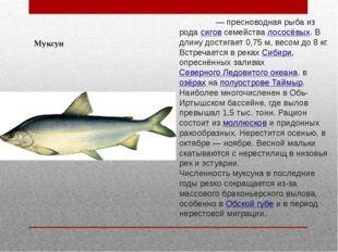 Муксун Муксу́н— пресноводная рыба из родасиговсемействалососёвых. В длину