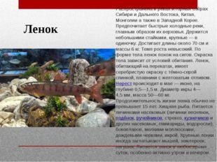 Ленок Распространена в реках и горных озёрах Сибири и Дальнего Востока, Китая