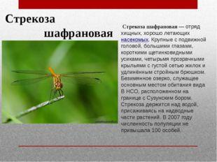 Стрекоза шафрановая Стрекоза шафрановая— отряд хищных, хорошо летающихнасе