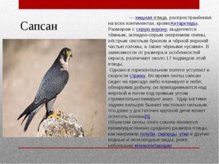 Сапсан Сапса́н —хищная птица, распространённая на всех континентах, кромеАнт