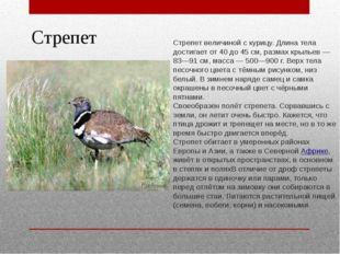 Стрепет Стрепет величиной с курицу. Длина тела достигает от 40 до 45 см, разм