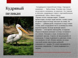 Кудрявый пеликан Гнездящаяся перелётная птица. Народное название— баба-птиц