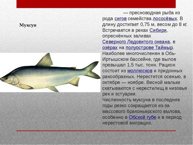Муксун Муксу́н— пресноводная рыба из родасиговсемействалососёвых. В длину...