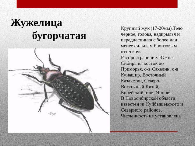 Жужелица бугорчатая Крупный жук (17-20мм).Тело черное, голова, надкрылья и пе...