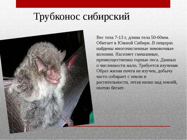 Трубконос сибирский Вес тела 7-13 г, длина тела 50-60мм. Обитает в Южной Сиби...