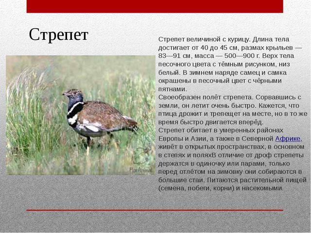 Стрепет Стрепет величиной с курицу. Длина тела достигает от 40 до 45 см, разм...