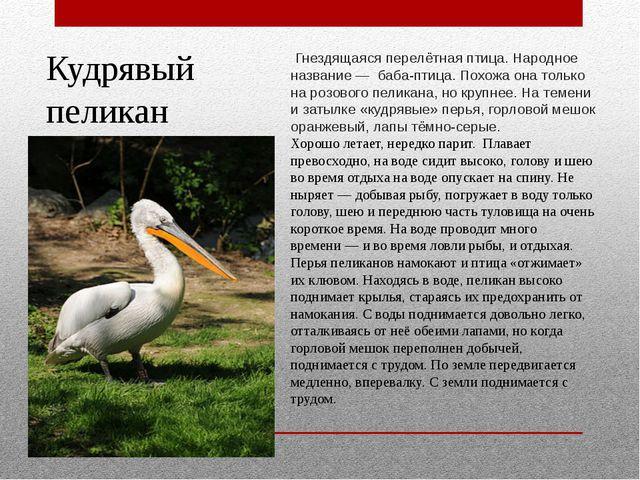 Кудрявый пеликан Гнездящаяся перелётная птица. Народное название— баба-птиц...
