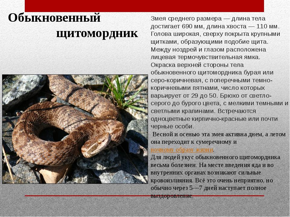 Обыкновенный щитомордник Змея среднего размера — длина тела достигает 690 мм...