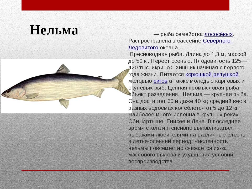 Нельма Не́льма — рыба семействалососёвых. Распространена в бассейне Северног...