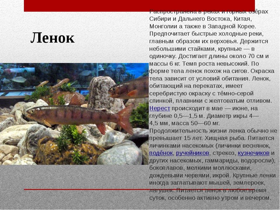 Ленок Распространена в реках и горных озёрах Сибири и Дальнего Востока, Китая...