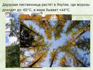 Даурская лиственница растёт в Якутии, где морозы доходят до -65°С, а жара быв