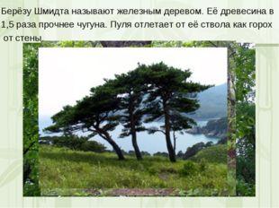 Берёзу Шмидта называют железным деревом. Её древесина в 1,5 раза прочнее чугу
