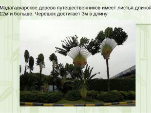 Мадагаскарское дерево путешественников имеет листья длиной 12м и больше. Чере