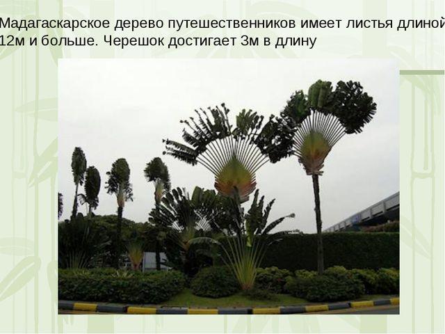 Мадагаскарское дерево путешественников имеет листья длиной 12м и больше. Чере...