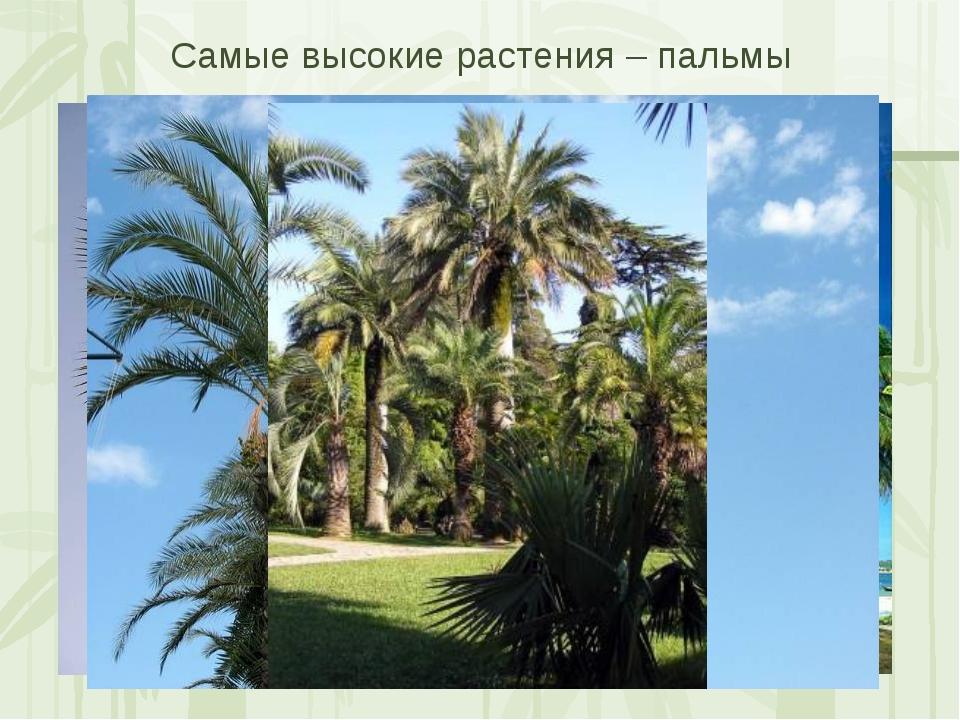 Самые высокие растения – пальмы