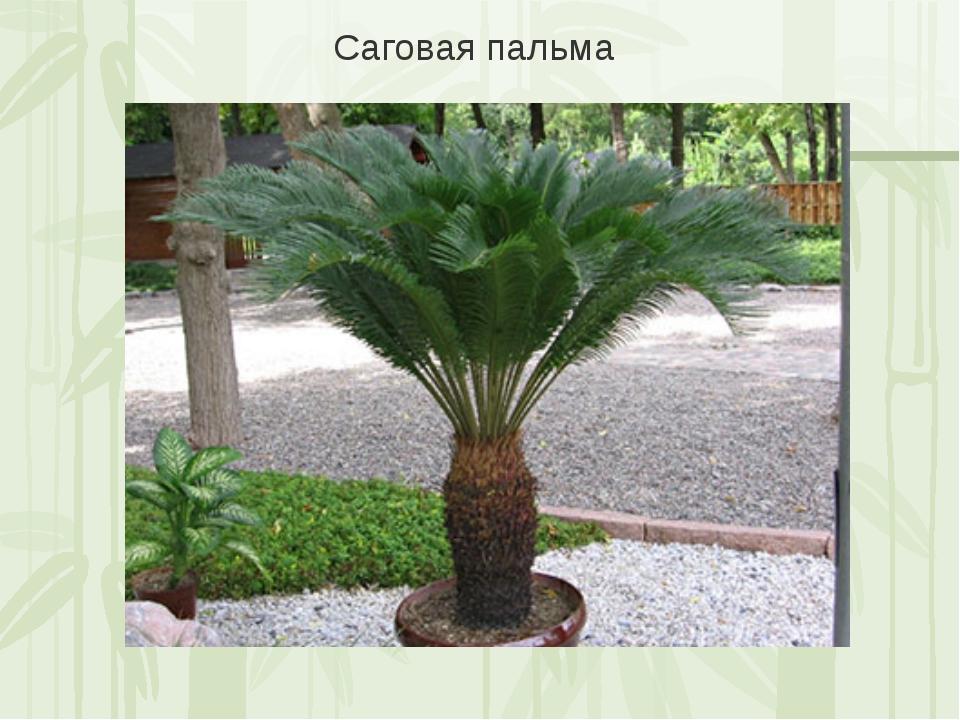 Саговая пальма