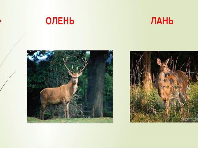 ОЛЕНЬ ЛАНЬ