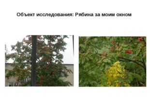 Объект исследования: Рябина за моим окном