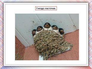 Деревенские ласточки поют в полёте и во время отдыха, сидя на крышах и телефо