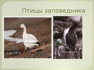 Птицы заповедника Кайра пархатая Белый гусь