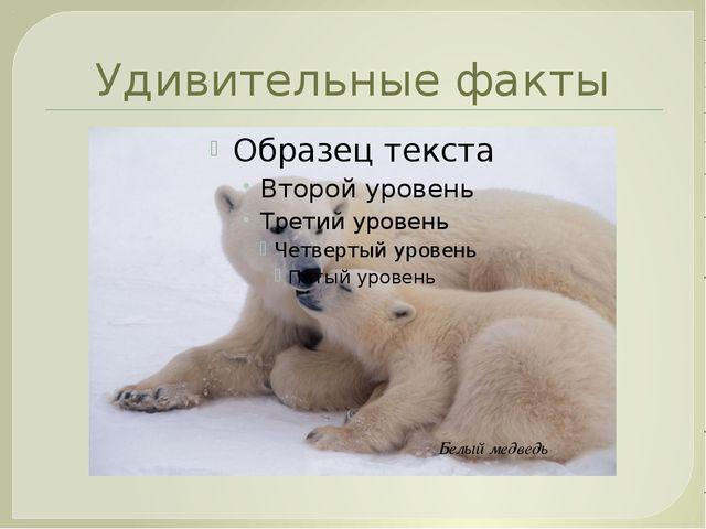 Удивительные факты Белый медведь