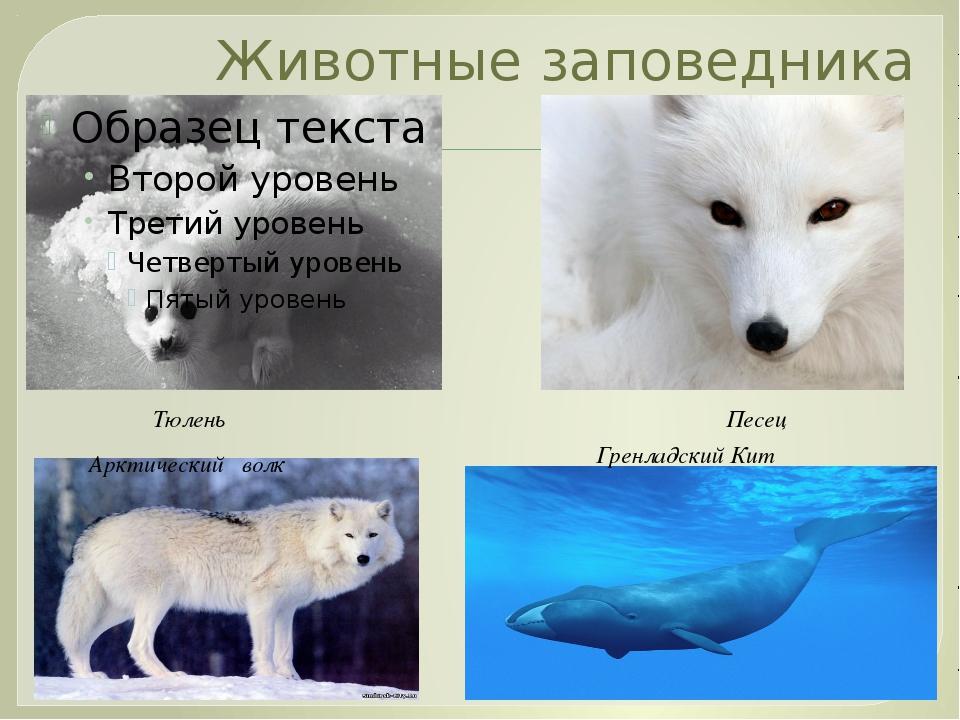 Животные заповедника Песец Тюлень Арктический волк Гренладский Кит